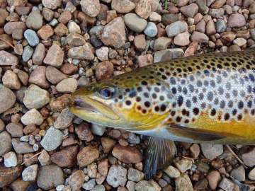 Trout golden belly Angus Grant Art