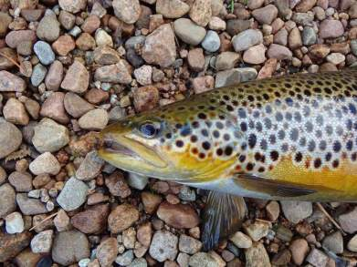 Trout golden belly