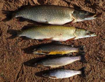 Five fish on the beach trout pike, Angus Grant Art