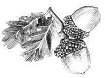 Acorn illustration by Angus Grant