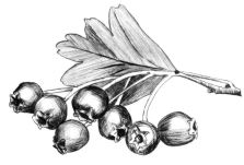 Hawthorn illustration by Angus Grant