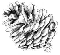 Pine cone drawing by Angus Grant